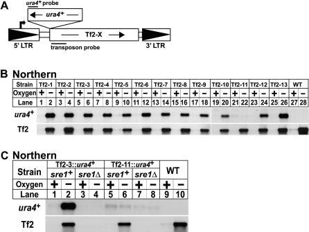 Sre1 Controls Low Oxygen Expression of Multiple Tf2 Elements(A) Scheme for tagging individual Tf2 elements with ura4+. Bold arrow denotes Tf2 transcription initiation. Northern probe positions are indicated.(B) Yeast containing a single Tf2 element tagged by ura4+ or wild-type yeast were grown +/− oxygen for 8 h and processed for northern analysis using strand-specific DNA probes to detect either the tagged Tf2 element (ura4+ probe) or all 13 Tf2 elements (Tf2 probe).(C) Wild-type or sre1Δ yeast containing a tagged Tf2 element were grown +/− oxygen for 6 h and processed for northern analysis. All Tf2 elements tested (Tf2–4, Tf2–7, and Tf2–10) gave results identical to Tf2–3.