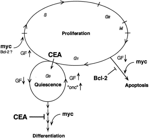 Model showing  integrated effects of Myc,  Bcl-2, and CEA. Postmitotic  cells in the presence of serum  growth factors (GF) pass  through G1 and reenter S  phase; at high GF levels, Myc  drives cells into S, reducing  the length of the G1 period.  At low GF levels, Myc will  activate both myogenic differentiation from G1/G0 and  apoptosis (not restricted to  G1); under these conditions  Bcl-2 may promote further  cycling. Coexpression of Bcl-2  with Myc blocks apoptosis.  CEA prevents normal and  Myc-induced differentiation  and directs cells into a viable,  reversible quiescent state  that prolongs survival. Stimulation with growth factors or  activation of an additional  oncogene(s) thus can drive  CEA-expressing cells back  into cycle.