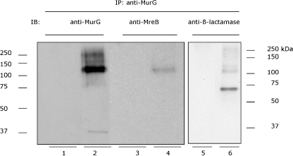 Immunoblotting (IB) analysis of the protein complex with anti-MurG, anti-MreB and anti-β-lactamase under non-reducing conditions. The membranes extracted from BW25113ΔmraY/pMAKmraYec strain (MraY–β-lactamase–His expressing strain) were used for the IP (with cross-linking) with anti-MurG. The blot was then probed with anti-MurG (lanes 1 and 2), anti-MreB (lanes 3 and 4) or anti β-lactamase (lanes 5 and 6). In parallel the same IP was performed without the membrane fraction (lanes 1, 3 and 5). A cross-linked product with a molecular weight of about 120 kDa is visible in all samples except in control samples (lanes 1, 3 and 5). The faint band in lane 2 is MurG, which is not completely cross-linked in the protein complex. The band in lane 6 with the molecular weight of approximately 70 kDa corresponds to the MraY–β-lactamase–His protein that is not completely cross-linked in the protein complex.