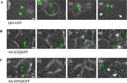Nuclear ataxin-1 accumulations distribute symmetrically to daughter cells during cell division.Representative series of images showing cell division of a cell containing fluorescent aggregates or nuclear accumulations. (A). Asymmetric distribution of Q65-GFP aggregates in time. Arrows indicate the two daughter cells. (B). Symmetric distribution of Atx1[Q2]GFP nuclear accumulations during cell division. Nuclear accumulations fuse prior to division. After division both daughter cells contain cytoplasmic accumulations and later nuclear accumulations. (C). Symmetric distribution of Atx1[Q85]GFP nuclear accumulations during cell division. Time is indicated in minutes. Sizebar = 1 µm.
