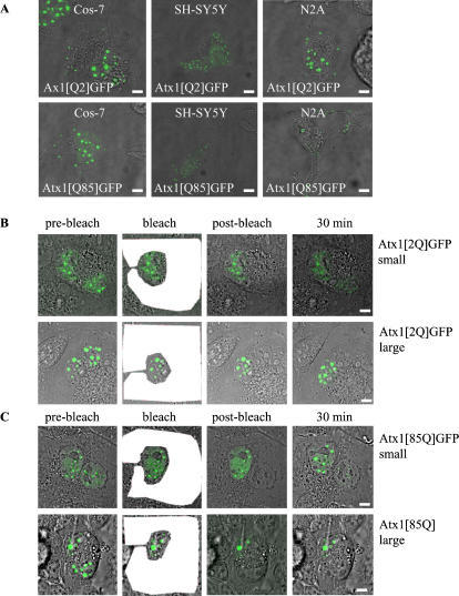 Polyglutamine expansion does not affect ataxin-1 shuttling between the nucleus and the cytoplasm.(A). Cos-7 cells and N2A and differentiated SH-SY5Y neuronal cells contain cytoplasmic accumulations of both Atx1[Q2]GFP and Atx1[Q85]GFP. (B). Representative nucleocytoplasmic shuttling assay in a Cos-7 bikaryon with small and large Atx1[Q2]GFP nuclear accumulations. Shuttling to the bleached nucleus is only observed when small nuclear accumulations are present. (C). Atx1[Q85]GFP can shuttle between nucleus and cytoplasm when bikaryons of Cos-7 cell contain small nuclear accumulations. When large nuclear accumulations are present there is no nucleocytoplasmic shuttling of either Atx1[Q2]GFP or Atx1[Q85]GFP. The bleached region is indicated in white. Sizebar = 1 µm.