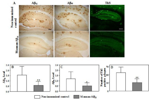 Vaccination with mannan-Aβ28 attenuates amyloid deposition in the cortical and hippocampal regions of brains. A. Representative images of hippocampal region from non-immunized controls and mice immunized with mannan-Aβ28 showing reduction of Aβ42 and Aβ40 amyloid burden or cored amyloid plaques. Aβ deposits were stained with anti-Aβ42, anti-Aβ40 antibodies, and with ThS. Original magnifications, 5× for anti-Aβ42/40 staining and 4× for ThS (scale bars = 200 μm). B, C, D. Image analysis of Aβ42 (B), Aβ40 (C) staining, and number of ThS-positive cored plaques (D) in cortex of 18–18.5 mo old Tg2576 non-immunized mice and mice immunized with mannan-Aβ28. Vaccinated mice showed significant reduction in Aβ42 (P = 0.0075), Aβ40 (P = 0.0103) burden, and in number of ThS-positive cored plaques (P = 0.0019) compared to that in non-immunized control group. Bars represent mean ± SE from n = 5 in the group of non-immunized mice, and n = 8 in the group of mice immunized with mannan-Aβ28.