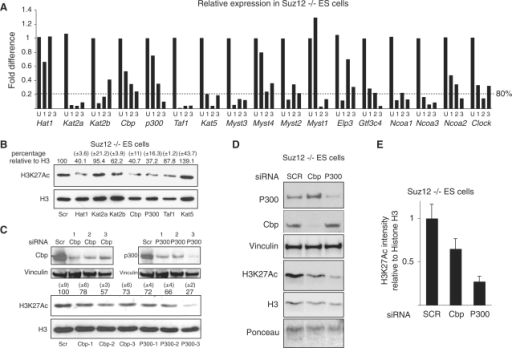 p00 and Cbp are required for efficient H3K27 acetylation in Suz12 KO ES cells. (A) qPCR expression analyses of the indicated genes in Suz12 KO ES cells transfected for 48 h with the indicated siRNA oligos. 'U' indicates the control siRNA oligo carrying a scrambled oligoribonucleotide sequence. (B) Western blot analyses of histones purified from Suz12 KO ES cells transfected with the indicated siRNA oligos using the indicated antibodies. H3 is presented as loading control. Quantification of the H3/H3K27Ac signal is indicated above each lane. A scrambled siRNA oligo (SCR) was used as negative control. (C and D) Western blot analyses of protein extracts and of purified histones from Suz12 KO ES cells transfected with the indicated siRNA oligos using the indicated antibodies. Vinculin, Ponceau staining and H3 are presented as loading controls. A scrambled siRNA oligo (SCR) was used as negative control. Quantification of the H3/H3K27Ac signal of western blots presented in 'C' is indicated above each lane. (E) Average quantification of the H3/H3K27Ac signals between the two independent siRNA experiments presented in C and D.