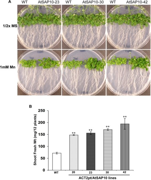 Mn resistance phenotype of Arabidopsis AtSAP10 overexpression lines.(A) Mn resistance phenotypes and (B) Fresh shoot weight of three transgenic lines AtSAP10–23, AtSAP10–30, and AtSAP10–42 overexpressing AtSAP10 from ACT2pt expression cassette and wild type (WT) plants grown on 1 mM MnCl2 in half-strength MS medium for three weeks. The average and standard deviation (SD) values are represented for four replicates of 12 seedlings each for WT and AtSAP10 lines. The asterisks represent the significant difference in biomass accumulation compared with wild type (WT) plants, (*) P<0.05, (**) P<0.01.