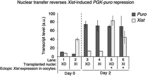 Nuclear transfer reverses epigenetically stable, Xist-induced and Xist-independent gene repression. Reversibility of PGK-puro silencing following nuclear transfer of clone 36 cells. To obtain the Xist-dependent (XD) PGK-puro repressed state, clone 36 ES cells were induced to express Xist for 4 days. To obtain the Xist-independent (XI), stable PGK-puro repressed state, clone 36 ES cells were induced to differentiate with RA for 4 days while being induced with Xist at the same time. The nuclei of XD and XI PGK-puro repressed cells were transplanted to oocytes. Biological triplicates were collected immediately or 2 days after nuclear transfer. Nuclei induced to ectopically express Xist after nuclear transfer, within the GV is indicated (+). Transcriptional analysis of puro (dark grey) and Xist (light grey) expression by qRT–PCR of oocytes transplanted with nuclei obtained as described in Supplementary Figure S6B is shown. P<0.05, n=3. Error bars are s.e.m. a.u. represents arbitrary unit.