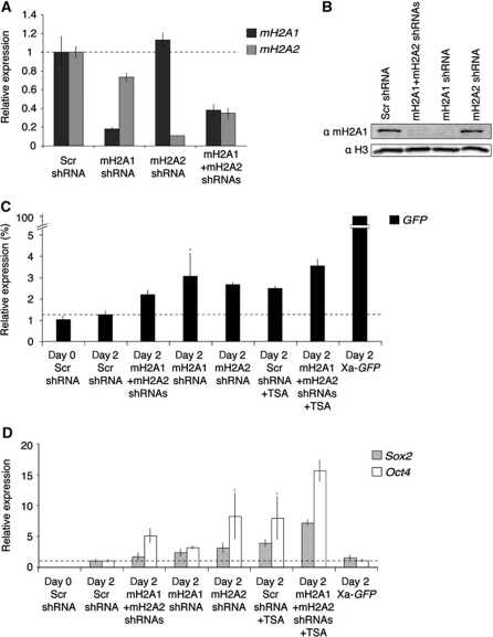 mH2A depletion improves reprogramming by nuclear transfer. (A) qRT–PCR analysis of mH2A1 and mH2A2 expression following shRNA-mediated mH2A RNAi. (B) Western analysis of mH2A1 in shRNA expressing Xi-GFP MEFs. (C, D) qPCR analysis of GFP (black), Sox2 (grey) and Oct4 (white) expression in transplanted Xi-GFP MEFs nuclei subjected to mH2A RNAi and/or TSA treatment. P<0.05 except samples marked *P<0.06 in (C), or *P<0.08 in (D), n=3. Error bars are s.e.m. Note the differences in y axis.