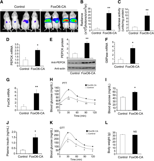Effect of FoxO6 gain-of-function on gluconeogenesis. CD1 male mice (aged 10 weeks) were stratified by body weight and randomly assigned to two groups (n = 9), which were intravenously injected with Adv-glucose-6-phosphate (G6P)-Luc vector (0.5 × 1011 plaque forming units [pfu]/kg) that is premixed with Adv-FoxO6-CA or Adv- vector (1.5 × 1011 pfu/kg). A: Mice were injected 5 days after vector administration with a dose of d-luciferin (200 μg/g i.p.), followed by whole-body imaging. B: The mean radiance of mice, defined as the light unit (photons/s/cm2/sr [steradian]), was compared between FoxO6-CA and control groups. Mice were killed after 14 days of hepatic FoxO6-CA production. C: Liver tissues were subjected to luciferase activity assay for determining hepatic luciferase activity. Aliquots of liver tissues (20 mg) were analyzed for the determination of PEPCK mRNA (D), PEPCK protein (E), G6Pase mRNA (F), and FoxO6 mRNA levels (G). In parallel, two groups of CD1 mice (n = 5) were identically treated with FoxO6-CA or control vector, without the inclusion of the luciferase vector, for determining the effect of FoxO6-CA on glucose metabolism. H: Blood glucose profiles of the pyruvate tolerance test (PTT). Mice were fasted for 16 h, followed by an injection of pyruvate (2 g/kg i.p.). Blood glucose levels were measured before and after pyruvate infusion. Data were obtained after 8 days of hepatic FoxO6-CA production. I: Fasting blood glucose levels. J: Fasting plasma insulin levels. Mice were fasted for 16 h, followed by determination of fasting blood glucose levels. In addition, aliquots of blood (20 μL) were collected from individual mice for the determination of fasting plasma insulin levels. Data were obtained on day 5 after vector administration. K: Blood glucose profiles of glucose tolerance test (GTT). Mice were fasted for 16 h, followed by a glucose injection (2 g/kg i.p.). Blood glucose levels were measured before and after glucose infusion. Data were obtained after 5 days of hepatic FoxO6-CA production. L: Body weight. *P < 0.05 and **P < 0.005 vs. control by ANOVA; NS, not significant. (A high-quality digital representation of this figure is available in the online issue.)