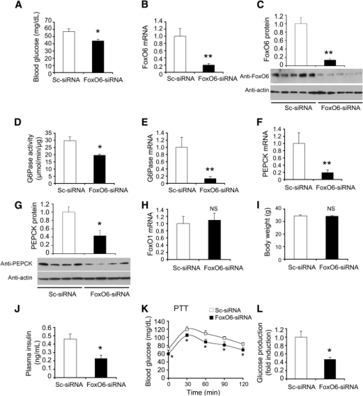 Effect of FoxO6 loss of function on gluconeogenesis. CD1 male mice (aged 10 weeks) were stratified by body weight and randomly assigned to two groups (n = 10), which were intravenously injected with a predefined dose (1.5 × 1011 plaque forming units [pfu]/kg) of Adv-FoxO6-siRNA vector expressing FoxO6-specific siRNA under the U6 promoter or control Adv-Sc-siRNA vector encoding scrambled siRNA under the U6 promoter. A: Blood glucose levels. B: Hepatic FoxO6 mRNA levels. C: Hepatic FoxO6 protein levels. D: Hepatic G6Pase activity. E: Hepatic G6Pase mRNA levels. F: Hepatic PEPCK mRNA levels. G: Hepatic PEPCK protein levels. H: Hepatic FoxO1 mRNA levels. I: Body weight. J: Plasma insulin levels. K: Blood glucose profiles of pyruvate tolerance tests (PTT). Blood glucose and plasma insulin levels were determined after a 16-h fast at day 10 after vector administration. PTT was performed at day 14. Mice were killed after a 16-h fast after 15 days of hepatic FoxO6-siRNA expression. Liver tissues were subjected to real-time quantitative RT-PCR analysis and G6Pase activity assay. L: Glucose production in FoxO6-deficient hepatocytes. Mouse primary hepatocytes (2 × 105 cells/well in 12-well microplates) were treated with Adv-FoxO6-siRNA or Adv-Sc-siRNA vector at the dose of 100 pfu/cell in the presence of 8-cpt-cAMP (cAMP analog, 500 μmol/L) and dexamethasone (100 μmol/L). Each condition was run in six replicates. After 24-h incubation, the amount of glucose released from hepatocytes into culture medium was determined between FoxO6-siRNA and control Sc-siRNA groups. *P < 0.05 and **P < 0.005 vs. control by ANOVA; NS, not significant.