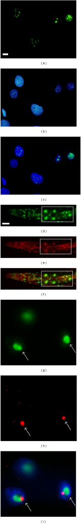 Nucleolar localization of the large delta antigen of human hepatitis D virus in human hepatoma cells and in worms. Human hepatoma cells transfected with plasmids expressing GFP::LDAg, (a) visualized by GFP, (b) stained with DNA dye, and (c) the merged picture. (d–i) A transgenic worm carrying a bicistronic vector coexpressing FIB-1::GFP and RFP::LD. A low magnification of worms photographed via (d) the FITC channel to visualize FIB-1::GFP, (e) the rhodamine channel to visualize RFP::LD, and (f) the merged picture. The rectangles in panels (d–f) show four intestinal cells in the same worm. A high magnification of intestinal cells shows (g) FIB-1::GFP, (h) RFP::LD, and (i) the merged picture. Arrows indicate the nucleoli. Note that RFP::LD and FIB-1::GFP are not perfectly colocalized. Scale bars indicate 10 μm.