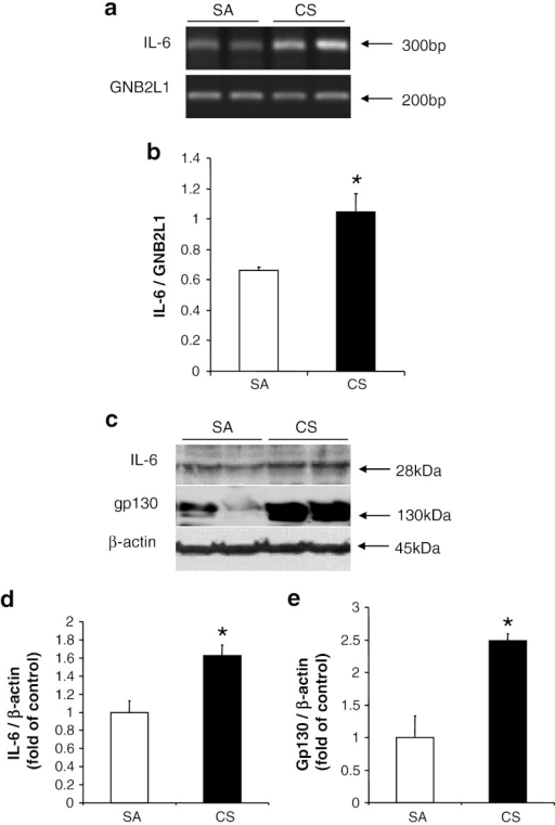 Induction of IL-6 in cortex after 56 days of CS exposure. a Expression of IL-6 mRNA, with GNB2L1 serving as an internal control. b Quantitative analysis of luminescent band intensity of IL-6. Results are expressed as IL-6 to GNB2L1 ratio. c Protein levels of IL-6 and gp130, with β-actin serving as an internal control. d, e Quantitative analysis of band intensity by densitometry. Values represent the mean ± SEM. *p < 0.05, when comparing between SA and 56 days of CS exposure groups (n ≥ 4)