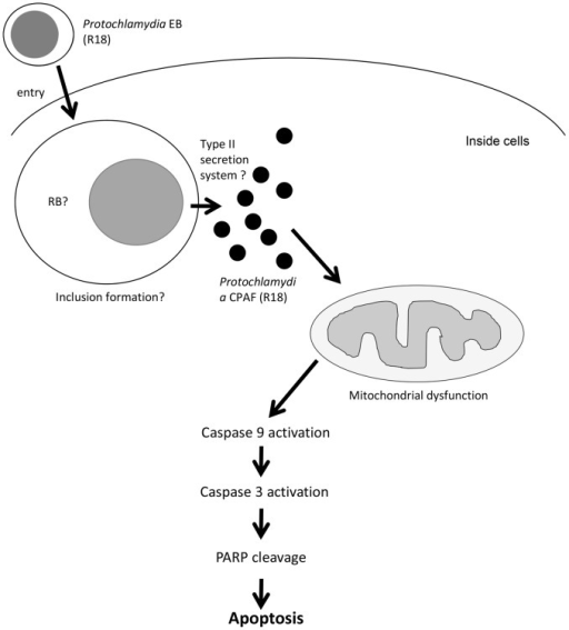 Hypothetical pathway of Protochlamydia-induced apoptosis of immortalized human HEp-2 cells.