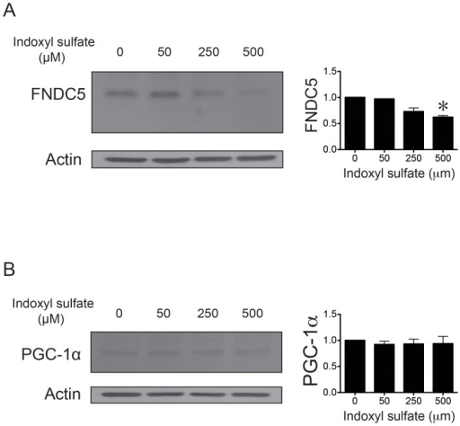 Indoxyl sulfate modulates FNDC5 expression in skeletal muscle cells.A, Dose-response relationship for the decrease in FNDC5 expression in skeletal muscle cells treated with indoxyl sulfate for 24 h. (n = 3; *, p<0.05) B, PGC-1α expression analysis by western blot of skeletal muscle cells treated with indoxyl sulfate for 24 h.