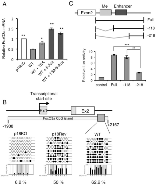 Expression of FoxO3a is regulated by DNA methylation.(A) WT cells were treated with trichostatin A (TSA), 5-aza-deoxycytidine (5-Aza), or a combination of TSA and 5-Aza for 48 h, and FoxO3a mRNA levels were determined by quantitative real-time PCR. Fold change in mRNA levels was calculated after normalization against β-tubulin mRNA (internal control). **P<0.01 and *P<0.05 (Student's t-test). (B) DNA methylation status of FoxO3 CpG islands in p18KO, p18Rev, and WT cells was analyzed by bisulfite sequencing. The methylation status in the gray boxed region was determined for ten clones obtained from each cell line. Individual clones are indicated by lines with circles. Methylated and non-methylated cytosines are indicated by closed and open circles, respectively. (C) A series of fragments from the intronic region of the mouse FoxO3a gene were subcloned upstream of a luciferase reporter gene. Each construct was transfected into MEFs, and luciferase activity was measured and normalized against pRLTK activity. Normalized luciferase activity is expressed as means±SD (n = 3). ***P<0.001 and **P<0.01 (Student's t-test).