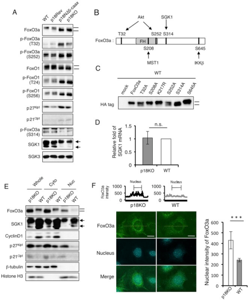 Inactivation of mTORC1 induces nuclear accumulation of FoxO3a.(A) Western-blot analyses to detect the indicated signaling molecules, using total cell lysates from WT, p18Rev, p18NΔ5-CAAX, and p18KO cells. The panels for FoxO3a and FoxO1 are the same panels used in Figure 3A. Mobility shifts of FoxO proteins are shown by bars. Locations of bands corresponding to long and short forms of SGK1 are indicated by arrows. (B) Schematic structure of FoxO3a. Sites of phosphorylation by the indicated kinases are shown. FH: Fork head domain. (C) HA-tagged FoxO3a constructs with point mutations at the indicated amino-acid positions were transiently expressed in WT cells, and their mobility shifts (indicated by bars) were analyzed by Western blotting. (D) Expression levels of mRNA encoding SGK1 in p18KO and WT cells were determined by quantitative real-time PCR. Means±SD were obtained from three independent assays. n.s.; not significant (Student's t-test). (E) Whole-cell lysates from p18KO and WT cells were separated into cytoplasmic and nuclear fractions, and the indicated proteins were detected by Western-blot analyses. β-tubulin and histone H3 represent control proteins for the cytoplasmic and nuclear fractions, respectively. (F) Immunofluorescence analysis for FoxO3a in p18KO and WT cells. Nuclei were visualized with propidium iodide (PI). Merged images are also shown. Scale bars: 10 µm. Upper graphs show the intensity of signals for FoxO3a obtained by scanning along the yellow dot lines. Right graph shows the statistic data of nuclear intensity of FoxO3a signals in p18KO and WT cells. Means±SD were obtained from 15 cells. ***P<0.001 (Student's t-test).