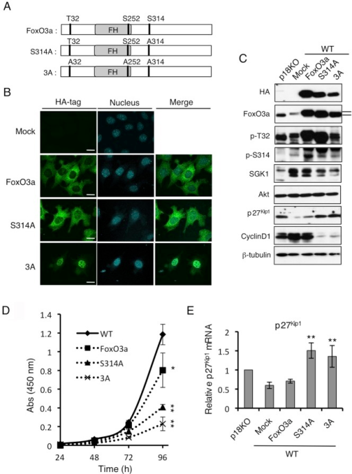 Nuclear localization of FoxO3a suppresses cell proliferation.(A) Schematic structures of WT FoxO3a, FoxO3a S314A mutant (S314A), and FoxO3a T32/S252/S314A triple mutant (3A). (B) Immunofluorescence analyses to determine localizations of HA-tagged WT FoxO3a, S314A, and 3A cells to determine FoxO3a (HA) localization. Merged images with PI staining are shown. Scale bars: 10 µm. (C) Western-blot analyses for the indicated molecules in p18KO cells, mock-treated WT cells, and WT cells expressing FoxO3a, S314A, or 3A. (D) Cell proliferation of WT cells and WT cells expressing WT FoxO3a, S314A, or 3A was analyzed by the WST-1 growth assay over the indicated time course. Means±SD were obtained from three independent assays. **P<0.01 and *P<0.05 (Student's t-test). (E) Expression level of p27Kip1 mRNA in cells used in (C) was determined by quantitative real-time PCR. Means±SD were obtained from three independent assays. **P<0.01, (Student's t-test).