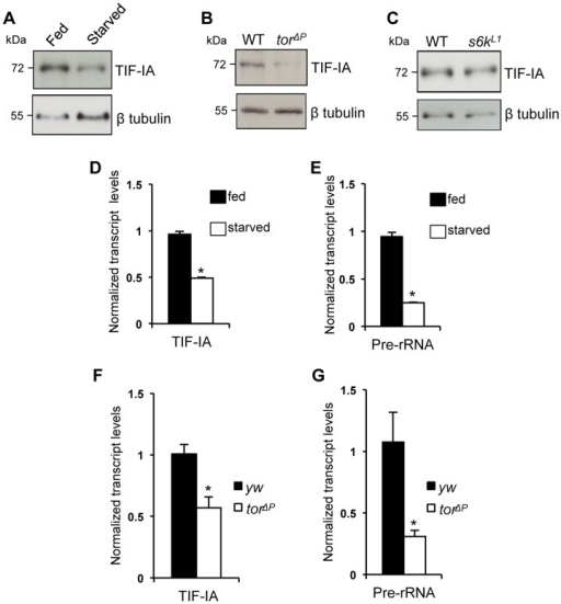 Nutrition-TOR signaling maintains TIF-IA mRNA and protein levels in larvae.(A) Immunoblot indicates TIF-IA protein levels were reduced in 24 hr starved larvae compared to fed larvae. (B) Immunoblot indicates TIF-IA protein levels were reduced in torΔP larvae compared to wild-type (WT) larvae, at 72 hr AEL. (C) Immunoblot indicates TIF-IA protein levels were unchanged between WT and s6k  (s6kL1) larvae, at 72 hr AEL. In all immunoblots, β tubulin levels indicate loading control. (D) qPCR indicates TIF-IA mRNA levels were reduced in 24 hr starved larvae compared to fed larvae. Data normalized to β tubulin. (*P = 3.46×10−6, Student's t-test). (E) qPCR indicates pre-rRNA levels were reduced in 24 hr starved larvae compared to fed larvae, at 72 hr AEL. Data normalized to β tubulin. (*P = 4.47×10−5, Student's t-test). (F) qPCR indicates TIF-IA mRNA levels were reduced in tor larvae compared to yw (control) larvae, at 72 hr AEL. Data normalized to actin. (*P = 0.01, Student's t-test). (G) qPCR indicates pre-rRNA levels were reduced in torΔP larvae compared to yw (control) larvae, at 72 hr AEL. Data normalized to actin. (*P = 0.04, Student's t-test). All error bars indicate SEM.