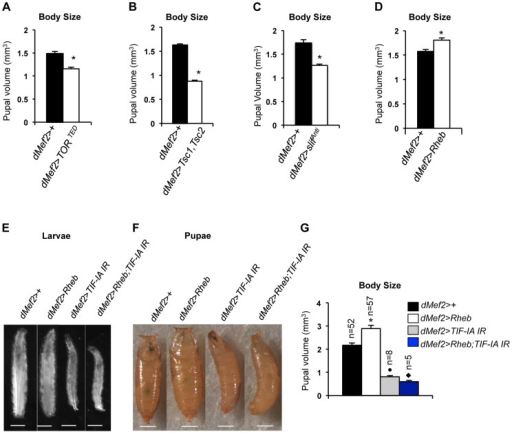 TOR activity in muscle is required and sufficient to promote body growth and TIF-IA inhibition in muscle blocks Rheb induced body growth.(A) Pupal volume of dMef2>+ and dMef2>TORTED pupae, n = 29, n - number of pupae per genotype, (*P = 2.47×10−7, Student's t-test). (B) Pupal volume of dMef2>+ and dMef2>Tsc1,Tsc2 pupae, n>55, n - number of pupae per genotype, (*P = 1.08×10−51, Student's t-test). (C) Pupal volume of dMef2>+ and dMef2>slifAnti pupae, n>80, n - number of pupae per genotype, (*P = 5.14×10−10, Student's t-test). (D) Pupal volume of dMef2>+ and dMef2>Rheb pupae, n>38, n - number of pupae per genotype, (*P = 0.003, Student's t-test). (E-F) Representative figures of larvae and pupae of indicated genotypes, scale bar-500 µm. (G) dMef2>Rheb animals showed increased pupal volume (White bar, *P<0.0001, One-way ANOVA and Tukey's post test) compared to dMef2>+ control. Muscle specific inhibition of TIF-IA (dMef2>TIF-IA IR) reduced pupal volume, with respect to dMef2>+ control (Grey bar, •P = 0.0003, One-way ANOVA and Tukey's post test). TIF-IA knockdown in muscle abrogated the Rheb-induced increase in pupal volume (Blue bar, ⧫P<0.0001, One-way ANOVA and Tukey's post test), n - number of pupae per genotype. All error bars indicate SEM.