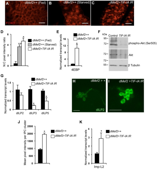 Muscle-specific TIF-IA inhibition reduces systemic insulin signaling.(A–C) Representative fat body images indicating FOXO (red) subcellular localization in (A) dMef2>+ (Fed), (B) dMef2>+ (Starved) and (C) dMef2>TIF-IA IR larvae, scale bar-500 µm. (D) Quantification indicating mean (N∶C, Nuclear∶Cytoplasmic) ratio of pixel intensity per fat body cell of dMef2>+ (Starved) (Grey bar, **P<0.001, One-way ANOVA and Tukey's post test) and dMef2>TIF-IA IR (White bar, *P<0.001, One-way ANOVA and Tukey's post test) animals, compared to fed control (dMef2>+) animals. 21 cells/genotype were scored. (E) qPCR indicates 4EBP mRNA levels were increased in dMef2>TIF-IA IR larvae compared to dMef2>+ control (*P = 0.002, Student's t-test). Data normalized to β tubulin mRNA. (F) Immunoblots indicate phospho Akt (Ser505), Akt and βtubulin levels in control (dMef2>+) and TIF-IA IR (dMef2>TIF-IA IR) larvae. (G) dMef2>TIF-IR larvae had reduced dILP3 mRNA (*P = 0.0003, Student's t-test) and dILP5 mRNA (*P = 0.015, Student's t-test) levels but dILP2 mRNA (P = 0.14, Student's t-test) levels were unaltered, compared to dMef2>+ control. Data normalized to β tubulin mRNA. (H–I) Representative images of larval brain insulin producing cells (IPC) at 96 hr AEL, indicating dILP2 protein accumulation of (H) dMef2>+ and (I) dMef2>TIF-IA IR animals, scale bar-20 µm. (J) Quantification showing mean pixel intensity/IPC cluster of dMef2>+ (n = 16) and dMef2>TIF-IA IR (n = 16) animals, n – number of IPC cluster assessed per genotype, images quantified with Image J software, (*P = 1.21×10−10, Student's t-test). (K) qPCR indicates Imp-L2 mRNA levels were induced in dMef2>TIF-IA IR larval muscle compared to dMef2>+ (control), (*P = 0.025, Student's t-test). Data normalized to β tubulin mRNA. All error bars indicate SEM.