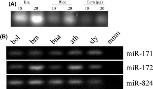 General characterization of small RNAs in different species. (A) Visualization of small RNAs in Brassica rapa (bra), rice, and corn. Total RNA from bra tissue, mature dry rice grain, and corn seeds. (B) RT-PCR characterized the expression of miRNA in different species. Upper, middle, lower panel: detection of miR-171, miR-172, and miR-824 in B. oleracea (bol), B. rapa (bra), B. napus (bna), Arabidopsis thaliana (ath), Solanum lycopersicum (sly), and mouse (mmu). The expression levels of indicated miRNAs evaluated by semiquantitative RT-PCR analysis with 30 cycles.
