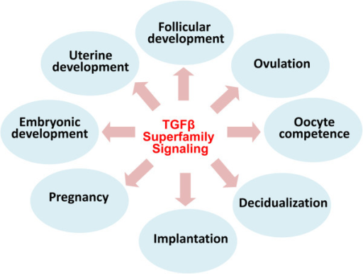 Major functions of TGFβ superfamily signaling in the female reproduction. TGFβ superfamily signaling regulates a variety of reproductive processes including follicular development (e.g., TGFβs, GDF9, BMP15, activins, and AMH), ovulation (e.g., GDF9), oocyte competence (e.g., GDF9 and BMP15), decidualization (e.g., BMP2 and NODAL), implantation (e.g., ALK2-mediated signaling), pregnancy (e.g., BMPR2-mediated signaling), embryonic development (e.g., TGFβs, activins, follistatin, BMP2, and BMP4), and uterine development (TGFBR1-mediated signaling).