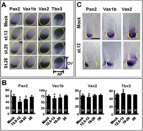 CPM treatments cause stage dependent effects on eye DV polarity. (A) Lateral views of heads of st. 33 embryos treated with ethanol (mock) or 100 μM CPM from the indicated stages and hybridized with probes for Pax2, Vax1b, Vax2 or Tbx3. Compared to controls, CPM-treated embryos show stage-dependent changes in gene expression domains along the anteroposterior (AP; Pax2, Vax1b) or the DV (Vax2, Tbx3) axes of the eye. Scale bar, 200 μm. (B) Quantification of the mean AP (Pax2, Vax1b) or DV (Vax2, Tbx3) width/height of gene expression domains, normalized to total width/height of the eye, in the eyes of embryos treated as in (A). The number of eyes analysed for each probe and treatment condition is indicated within the corresponding histogram bar. Error bars show standard deviations. *P < 0.05; ns, non-significant (P ≥ 0.05) according to two-tailed Student's t-test. (C) Histological sections of eyes of st. 33 embryos treated with ethanol or CPM from st. 13 and hybridized with the indicated probes. CPM-treated eyes show a reduction of Pax2, Vax1b and Vax2 expression domains along the eye proximodistal axis. Yellow brackets highlight the proximodistal extent of the whole ventral eye region. Scale bar, 100 μm.