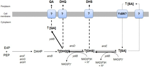 Identification of key genes of the SA pathway involved in the biosynthesis of aromatic byproducts QA and DHS from SA as determined by global transcriptomic analysis in E. coli W3110.shik1. Overexpression of ydiB, aroD, and ydiN genes allowed proposing that under carbon limiting growth conditions, SA is intracellularly accumulated as consequence of an inefficient export to periplasmic space or as consequence of its back transport to the cytoplasm as consequence of extracellular accumulation. YdiN, a putative transporter coded by ydiN was proposed to be involved in SA back import. Backflow of SA to DHS was possibly catalyzed by YdiB, whereas synthesis of DHQ from DHS was performed by AroD enzyme and finally, YdiB performed synthesis of QA from DHQ. Adapted from Johansson and Lidén (2006).