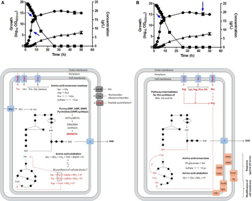 Identification of possible key genes involved in carbon supply for SA synthesis as determined by global transcriptomic analysis in E. coli PB12.SA22 in batch culture using complex fermentation broth. Global transcriptomic analysis (GTA) showed no changes in expression profile in comparisons between EXP/STA1 (A) and STA1/STA2 (B) stages of those genes coding for enzymes of CCM and SA pathways but differential overexpression of diverse genes involved the transport, catabolism and interconversion of amino acids was observed (in red color) [(A,B), lower panels]. During STA1/STA2 comparison, genes coding for l-arginine, l-lysine, l-glutamic acid, and l-ornithine transporters were upregulated. These amino acids are probably converted to succinate fueling carbon to TCA. Additionally diverse genes coding for stress response proteins to pH and osmotic pressure were overexpressed. Blue arrows in upper panels showed samples from fermentor culture analyzed for GTA. Growth (•), glucose consumption (▪), and SA production (▴). Adapted from Escalante et al. (2010), Keseler et al. (2013), and Cortés-Tolalpa et al. (2014).