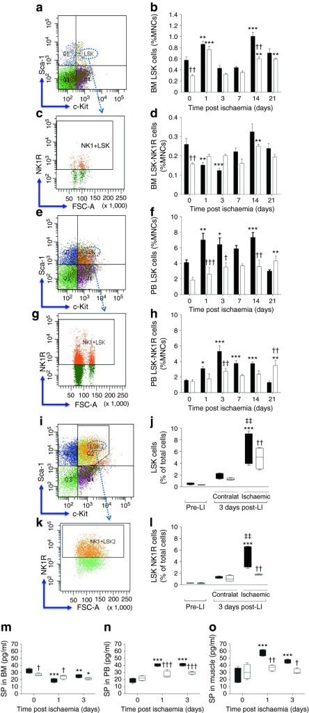 Impairment of the nociceptive mechanism is associated with reduced liberation and homing of stem cells in diabetic mice submitted to unilateral LI. (a–h) Flow cytometry analyses showing the abundance of LSK and LSK-NK1R cells in the BM (a–d) and PB (e–h) of diabetic (white bars) and non-diabetic (black bars) mice, before and after induction of unilateral LI. Data expressed as percentage of mononuclear cells (MNCs) *p < 0.05, **p < 0.01 and ***p < 0.001 vs time 0; ††p < 0.01 and †††p < 0.001 vs non-diabetic control; n = 5 per group. (i–l) Flow cytometry analyses showing the abundance of LSK (i, j) and LSK-NK1R (k, l) cells in ischaemic and contralateral limb muscles of non-diabetic (black boxes) and diabetic (white boxes) mice at 3 days post-LI compared with pre-LI. ***p < 0.001 vs pre-LI; ††p < 0.01 vs non-diabetic control; ‡‡p < 0.01 vs contralateral; n = 5 per group. The gating strategy is shown in (i) and (k). (m–o) Levels of SP in the BM (m), PB (n) and ischaemic muscles (o) of non-diabetic (black boxes) and diabetic (white boxes) mice before and after induction of LI. *p < 0.05, **p < 0.01 and ***p < 0.001 vs pre-LI; †p < 0.05, ††p < 0.01 and †††p < 0.001 vs non-diabetic control; n = 5 per group