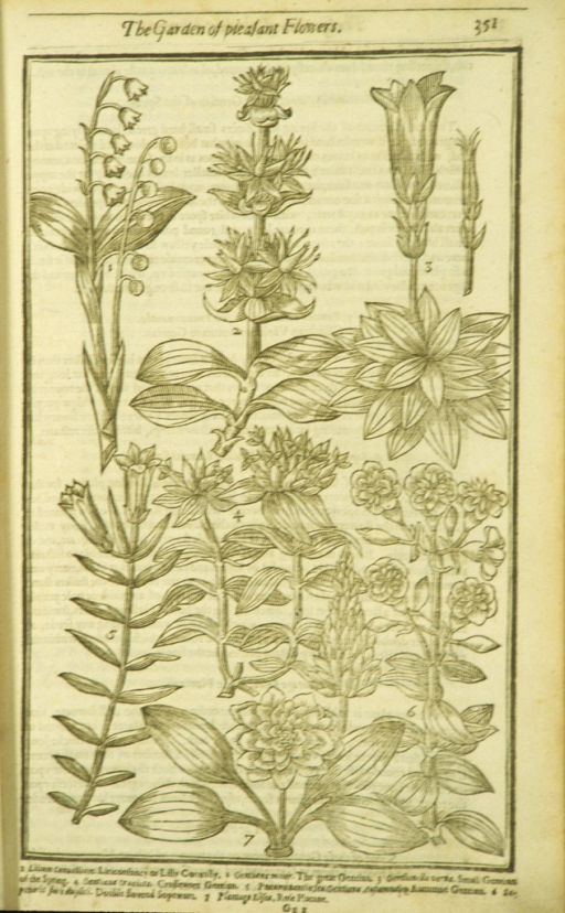 <p>Woodcut illustration of varieties of gentian.</p>