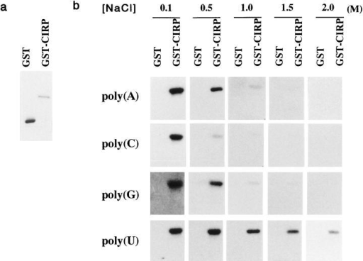 RNA-binding property of CIRP. (a) Bacterially  expressed GST protein and  GST–CIRP fusion protein  demonstrated by Coomassie  blue staining. (b) Northwestern blots showing binding of  GST and GST–CIRP proteins  to radiolabeled ribonucleotide homopolymers, poly(A),  poly(C), poly(G), and poly(U),  at different salt concentrations as indicated.