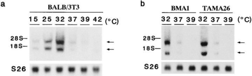 Temperature-dependent expression of cirp  mRNA.  Northern blot analysis of total RNAs from  mouse cell lines, BALB/3T3  (a) and BMA1 and TAMA26  (b), harvested 24 h after the  indicated temperature shift.  The positions of 18S and 28S  ribosomal RNAs are indicated on the left. As a control  for the amount of RNA  loaded, the filter was rehybridized with a mouse S26 ribosomal protein cDNA probe  (lower).