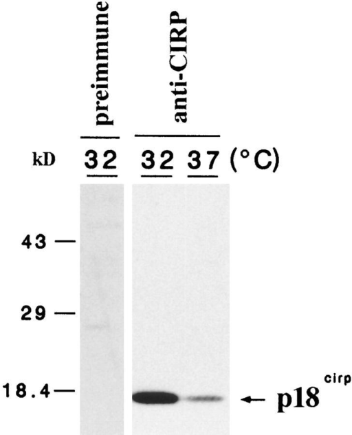 Western blot analysis of BALB/3T3 cell lysates using  an anti-CIRP polyclonal antibody. BALB/3T3 cells were harvested 24 h after the indicated temperature shift. 10 μg of samples was separated by 14% SDS-PAGE. Note specific recognition of an 18-kD protein by the anti-CIRP antibody. Mobilities of  coelectrophoresed molecular size markers are indicated on the left.