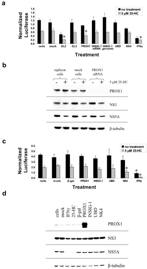 The effect of 25-hydroxycholesterol and siRNA knockdown or gene overexpression on HCV RNA replication and translation. Huh-7 cells stably expressing neo/luc/NS3-3'/5.1 or neo/NS3-3'/5.1 subgenomic replicons were transiently transfected with siRNA duplexes homologous to the genes of interest (A and B) or with expression plasmids for the genes of interest (C and D) in the absence or presence of 5 μM 25-hydroxycholesterol (25-HC) for 48 hours. After siRNA knockdown or overexpression of target genes, cell lysates were analyzed for luciferase activity (A and C) and western blot analysis of HCV non-structural proteins NS3 and NS5A as well as PROX1 (B and D). GL2 and GL3 siRNAs were used as controls for siRNA knockdown as described in the Methods. Mock refers to cells that were incubated with the transfection reagent but without siRNA or plasmid. As a positive control, cells were separately treated with 100 U/ml IFNγ. Values in (A) and (C) are the mean normalized relative light units (RLU) per mg/ml of protein ± standard deviation from triplicate samples. For the siRNA knockdown (A), an asterisk above a bar indicates a significant decrease in HCV replication compared to mock-transfected cells (GL2, PROX-1; p < 0.01) or untreated cells (IFNγ; p < 0.01) in the presence of 5 μM 25-HC. For the overexpression studies (C), an asterisk above a bar indicates a significant decrease in HCV replication compared to cells transfected with the backbone β-gal vector (NK4; p < 0.05) or the untreated cells (IFNγ; p < 0.01) when compared to the appropriate treatment condition (no treatment or 5 μM 25-HC treatment as indicated).
