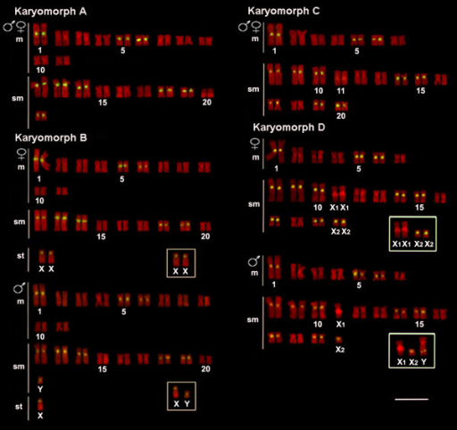 Karyotypes of Hoplias malabaricus (karyomorphs A-D) arranged from chromosomes probed with 5SHindIII-DNA satellite sequences (yellow signals) and counterstained with propidium iodide. The sex chromosomes of karyomorphs B and D are boxed. Bar = 5 μm.