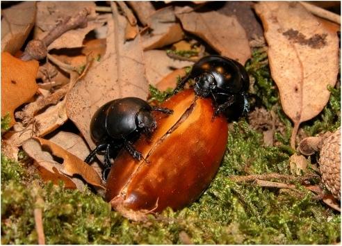 Thorectes lusitanicus eating cork-oak acorns.During the ...