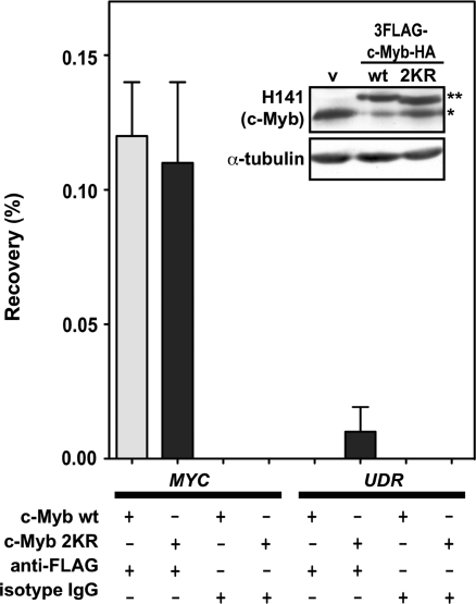 c-Myb occupancy on the MYC promoter is SUMO-independent. ChIP were performed with K562 cells to assess occupancy of c-Myb wild-type and SUMO-negative 2KR-mutant on the human MYC promoter. K562 cells were stably transfected with 3×FLAG- and HA-tagged c-Myb wild-type and 2KR, and clones were picked based on immunoblotting (inserted panel) showing similar expression of the integrated and endogenous c-Myb. ChIP was performed using anti-FLAG antibody, while an isotype IgG antibody was used as negative control. Occupancy was analysed by amplifying the MYC promoter by real-time PCR after reversal of the cross-linking. An unrelated DNA region (UDR) was used as negative control. The UDR was chosen from the gene desert region (53), the exact location is: chr2: 22153688+22153788. The results are calculated from triplicates of real-time PCR reactions and are expressed as percentage of recovery ± SD relative to the input. v, stable cell lines with integrated empty vector pEF1neo; asterisk, endogenous c-Myb; double asterisk, stably integrated, double-tagged c-Myb.