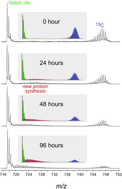 Protein turnover demonstrated in mass spectra for a peptide from [13C]-labeled ATP synthase CF1 β-subunit. Arabidopsis plants were grown with 13C-carbon dioxide in the enclosure for three weeks from seed then transferred to ambient air for 0 h, 24 h, 48 h and 96 h before the leaves were harvested for total protein extraction. Unlabeled proteins were added as a 'spike' to the [13C]-labeled samples before gel electrophoresis, protein band isolation, in-gel trypsin digestion and LC-MS/MS analysis. The observed spectra were fitted with three β-binomial distributions: natural abundance (green); newly synthesized peptide (red); and old peptide (blue) distributions shown for each spectrum in the insets. Sample spectra of the tryptic peptide from ATP synthase CF1 β -subunit (FVQAGSEVSALLGR, C63H104N18O20) show the disappearance of the 13C-labeled peptide over time. This peptide was doubly charged with a monoisotopic m/z of 717.391. In addition to a shift in the fractional isotopic abundance newly synthesized peptide (red) with time, the distribution abundance ratios of the newly synthesized peptide (red) and old peptide populations (blue) increase with time.