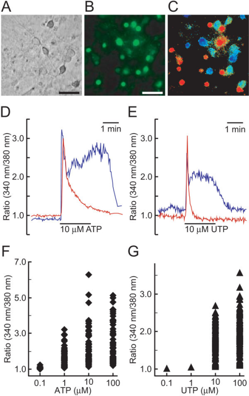 Effect Of Atp And Utp On Intracellular Ca2 Concentrati Open I