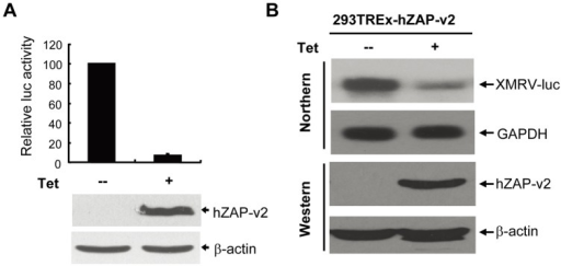 Expression of hZAP prevents the accumulation of XMRV-luc mRNA.293TRex-hZAP-v2 cells harbouring XMRV-luc provirus were mock treated or treated with 1μg/ml tetracycline for 48 h to induce ZAP expression. (A) Cells were lysed and luciferase activity was measured (upper panel). Data presented are means ± SD of three independent experiments. The expression of hZAP was confirmed by Western blotting (lower panel). (B) Cytoplasmic RNA was extracted and subjected to Northern blotting to detect the mRNA indicated (upper panel). Expression of hZAP was confirmed by Western blotting (lower panel).