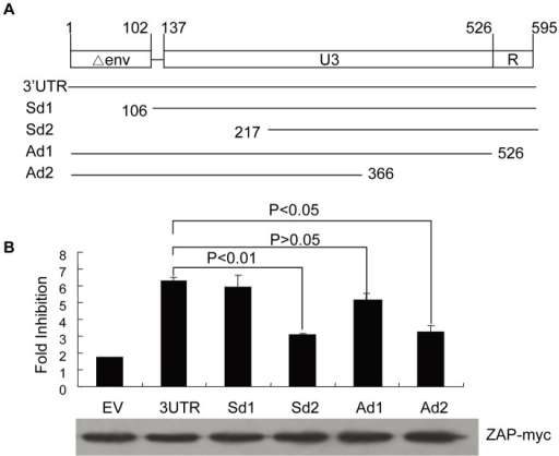 Mapping of ZRE in the 3′ LTR of XMRV. (A) Schematic structures of the truncation constructs of 3′UTR. (B) Analysis of the sensitivity of the 3′UTR truncation mutants to ZAP. Fold inhibition was measured as described in the legend to Figure 5B. Data presented are means ± SD of three independent experiments.