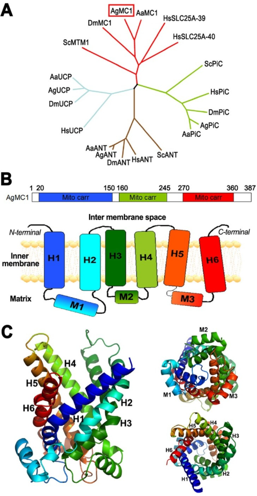 Anopheles gambiae mitochondrial carrier 1 (AgMC1) phylogeny and predicted structure.(A) Phylogenetic tree based on the sequence alignment of the deduced amino acid sequence of AgMC1 (AGAP001297-PA) and the putative mitochondrial carriers from A. aegypti (AaMC1), D. melanogaster (DmMC1), human mitochondrial carriers HsSLC25A-39 and SLC25A-40 and yeast manganese trafficking factor for mitochondrial (ScMTM1); uncoupling proteins from humans (HsUCP), A. gambiae (AgUCP), A. aegypti (AaUCP) and D. melanogaster (DmUCP); putative adenine nucleotide translocators (ANT) from humans (HsANT, SLC25A6), yeast (ScANT), A. gambiae (AgANT) A. aegypti (AaANT), and D. melanogaster (DmANT); putative phosphate carriers (PiC) from humans (HsPiC, SLC25A3), yeast (ScPiC), A. gambiae (AgPiC), A. aegypti (AaPiC,) and D. melanogaster (DmPiC). Sequence alignments and accession numbers are included in Fig. S1. (B) Schematic representation of the AgMC1 protein sequence coding for three mitochondrial carrier domains (mito carr, top panel) highlighted in blue, green and red, and of the predicted secondary structure (bottom panel), consisting of six transmembrane domains (H1 to H6), three matrix domains, (M1 to M3), and cytosolic domains. (E) Predicted tertiary structure based on the amino acid sequence of the AgMC1 based on the known structure of bovine ADP/ATP adenine nucleotide translocator. Ribbon diagram of the predicted structure of AgMC1 from a lateral view (left), or viewed from either the matrix (top right) or intermembrane space side of the mitochondrial membrane (bottom right).