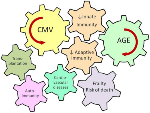 Age and CMV infection are major driving forces contributing to the deterioration of innate and adaptive immunity. Age-associated decrease of adaptive immunity is termed immunosenescence. The deregulation of innate immunity is associated with inflammageing. Immunosenescence and inflammageing play a significant role in the pathogenesis of different clinical situations that can lead to increased risk of frailty and death in the elderly.
