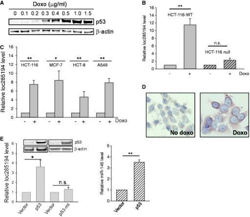 Identification of loc285194 as a p53-induced lncRNA. (A) Detection of p53 induction in response to doxo by western blot. (B) Effect of doxo on loc285154 expression in HCT-116-WT and HCT-116  cells. The cells were treated with doxo at 1 µg/ml for 24 h before extraction of total RNA for qRT-PCR. Error bars represent SEM, n = 3. **P < 0.01; n.s., not significant. (C) Induction of loc285194 in HCT-116, MCF-7, HCT-8 and A549 cells in response to doxo. The cells were treated the same way as in (B). Error bars represent SEM, n = 3. **P < 0.01; *P < 0.05. (D) Induction of loc285194 in doxo-treated cells as detected by ISH. (E) Induction of loc285194 by ectopically expressed p53. HCT-116 WT cells were first transfected with vector or wild-type p53 or mutant p53 (R175H) overnight; their expression was confirmed by western blot (top panel). After changing medium, the cells were allowed to further grow for 24 h before extraction of total RNA (bottom panel). Error bars represent SEM, n = 3. *P < 0.05.