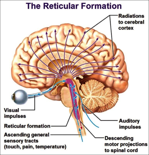 The ascending reticular activating system and its connections[Author's note: Image taken from the website – www.antranik.org – May be subject to copyright. Author has written for permission, still to receive reply despite repeated emails.]