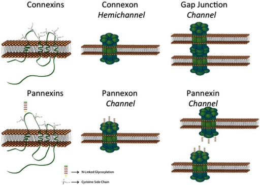 Schematic showing that connexins can from both hemichannels and gap junction channels. In contrast, pannexins normally form channels equivalent to hemichannels. See text for details (provided by Stephen Bond, Ph.D., UBC).