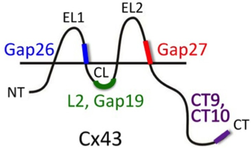 Peptide tools to interfere with Cx hemichannel function. Gap26 and Gap27 are composed of sequences located on the extracellular loops 1 (EL1) and 2 (EL2), respectively (amino acids 64–76 and 201–210, respectively) of Cx43 (mouse). These EL-mimetic peptides first inhibit hemichannels and with some delay also gap junction channels. The sequences they mimic are well conserved between different Cxs and peptides based on Cx43 sequences could also inhibit channels composed of other Cxs (e.g., Cx37). L2 peptide is identical to the L2 domain on the cytoplasmic loop (CL; amino acids 119–144). Gap19 is a nonapeptide located within the L2 domain (amino acids 128–136). L2 and Gap19 peptides block Cx43 hemichannels without blocking gap junctions and without blocking Cx40 hemichannels or Panx1 channels (other Cxs still need to be tested). CT10 and CT9 are the last 10 and last 9 amino acids of the C-terminal end (CT; amino acids 373–382 and 374–382, respectively). CT9/CT10 peptides remove the closure of Cx43 hemichannels with high micromolar cytoplasmic Ca2+ concentration and thus stimulate the opening of hemichannels. This particular effect of the CT-peptides is independent of the last amino acid (isoleucine 382) that is involved in linking Cx43 to scaffolding proteins involving ZO-1 interactions (the amino acid sequence 374–381 has the same effect as CT9/CT10; De Bock et al., 2012).