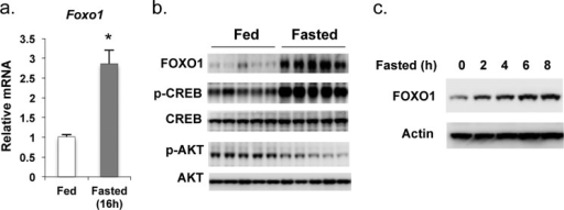 Fasting induces Foxo1 gene expression.a, Foxo1 mRNA levels compared in the liver of mice sacrificed at fed or fasted (16 h) states (n = 5). Real-time qPCR was used to measure gene expression (normalized to 36B4 expression levels). Asterisk (*) signifies that groups with same treatment are significantly different (p < 0.05). Error bars, S.E. b, phosphorylation status of CREB, AKT and total AKT, CREB, and Foxo1 protein levels in the liver from fed and 16-h fasted mice are shown (n = 5). c, fasting led to the early induction of Foxo1 expression. The Foxo1 protein levels in the liver of mice sacrificed are shown at the indicated fasting time points. Each lane represents sample pooled from two mice.