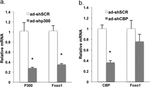 Depletion of P300 decreased Foxo1 mRNA levels in the liver.Foxo1 mRNA levels in the liver of mice with adenoviral shRNAs mediated depletion of P300 (a) or CBP (b), and sacrificed after 16 h fasting (n = 3). Asterisk (*) signifies that groups with the same treatment are significantly different (p < 0.05). Error bars, S.D.