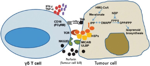 Mechanism underlying γδ T cell killing of tumours: γδ T cell receptor (TCR) interacts with isopentenyl pyrophosphate (IPP) generated through the mevalonate pathway in tumours. Bisphosphonates inhibits farnesyl pyrophosphate synthase (FPPS) leading to increased endogenous pool of IPP and dimethylalleyl pyrophosphate (DMAPP) in tumour cells. γδ T cells recognize heat shock proteins (HSPs) and MHC class I chain-related molecules (MICA/B) or UL-16 binding protein ULBP expressed on tumour cells via their TCR and natural killer group 2, member D protein (NKG2D) receptors, respectively. Perforin released from activated γδ T cells lyse the tumour cell. γδ T cells can also kill tumour cells through antibody dependent cellular cytotoxicity (ADCC). γδ T cells expressing CD16 (FCγRIII) interacts with tumour associated antigens (TAA) via specific monoclonal antibodies and mediate ADCC. Cytokines like interferon-γ (IFN-γ) and tumor necrosis factor-α (TNF-α) released by γδ T cells can recruit other immune cells (bystander effect).