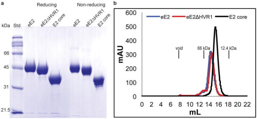 eE2, eE2ΔHVR1 and E2 core are highly soluble and monomeric in solution(a) A comparison of proteins under reducing and non-reducing conditions is shown by a 10% SDS-PAGE gel with protein standards (Std). (b) Size exclusion chromatography of eE2, eE2ΔHVR1 and E2 core proteins on a Superdex200 gel filtration column. The elution positions of the void volume (>200kDa), albumin (66kDa) and cytochrome C (12.4kDa) are indicated. Molecular weights of eE2, eE2ΔHVR1 and E2 core are ∼46kDa, ∼42kDa and ∼32kDa respectively.